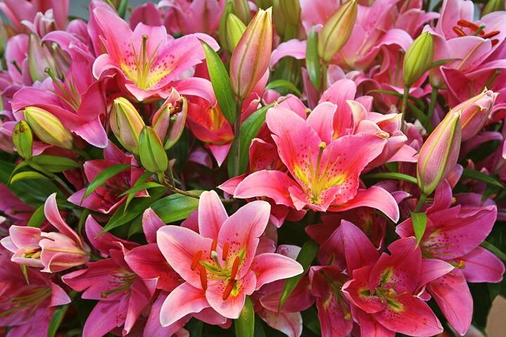 lillii